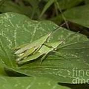 Grasshopper Mating On Grass Leaf Art Print