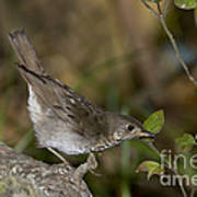 Gray-cheeked Thrush Art Print