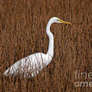 1- Great Egret Art Print