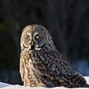 Great Gray Owl Pictures 789 Art Print