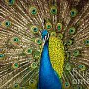 Green Beautiful Peacock Art Print