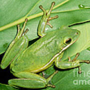Green Tree Frog Art Print