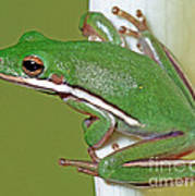 Green Treefrog Art Print