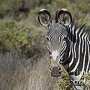 Grevys Zebra Stallion Art Print
