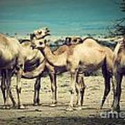 Group Of Camels In Africa Art Print