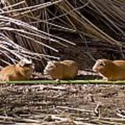 Guinea Pig Livestock At Lake Titicaca Peru Art Print