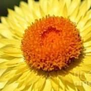 Helichrysum Bracteatum Named Strawburst Yellow Art Print