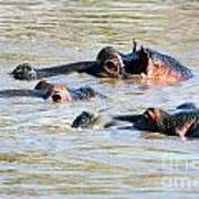 Hippopotamus Group In River. Serengeti. Tanzania Art Print