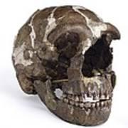 Homo Neanderthalensis Cranium (tabun 1) Art Print