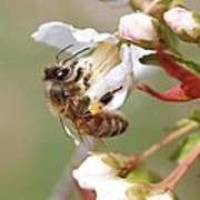 Honeybee On Cherry Blossom Art Print