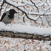 Hooded Crow First Snow Art Print