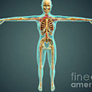 Human Body Showing Skeletal System Print by Stocktrek Images