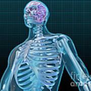 Human Skeleton And Brain, Artwork Art Print