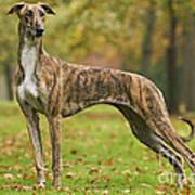 Hungarian Greyhound Art Print