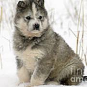 Husky Dog Puppy Art Print