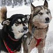 Husky Dogs Pull A Sledge  Art Print by Lilach Weiss