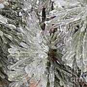 Ice On Pine Branches Art Print