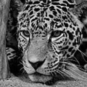 Jaguar In Black And White II Art Print