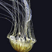 Jellyfish Of Aquarium Of The Bay San Francisco Art Print