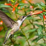 Juvenile Male Ruby-throated Hummingbird Art Print