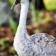 Juvenile Sandhill Crane Grus Canadensis Pratensis II Usa Art Print