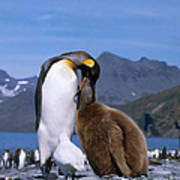 King Penguins Aptenodytes Patagonicus Art Print by Hans Reinhard
