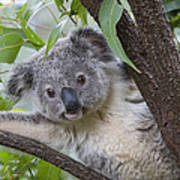 Koala Joey Australia Art Print