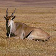 Eland Antelope In Kenya Art Print