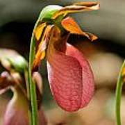 Lady Slippers At Moore State Park 2 Art Print