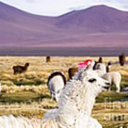 Lama On The Laguna Colorada In Bolivia Art Print