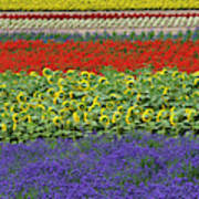 Lavender Farm, Furano, Hokkaido Art Print