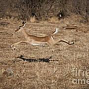 Leaping Impala Art Print