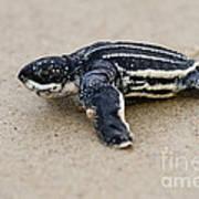 Leatherback Sea Turtle Hatchling Amelia Island Florida Art Print