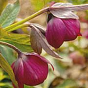 Lenten Roses  Art Print