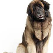 Leonberger Dog Art Print