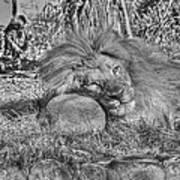 Lion In Repose Art Print