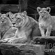 Lioness And Cubs Art Print