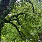 Live Oak Tree At Oak Alley Plantation Art Print