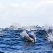 Long-beaked Common Dolphins Art Print