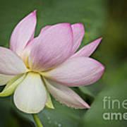 Lotus Dance Art Print