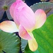 Lotus Lilly Art Print