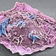 Macrophage Engulfing Tb Bacteria, Sem Art Print