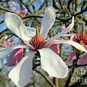 Magnolia Flower Art Print