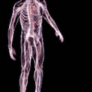 Male Anatomy Art Print