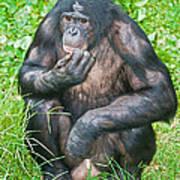 Male Bonobo Art Print