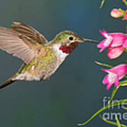 Male Broad-tailed Hummingbird Art Print
