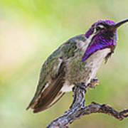 Male Costa Hummingbird Art Print