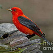 Male Scarlet Tanager Art Print