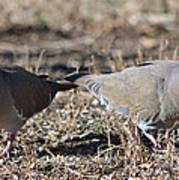 Male White Wing Doves Art Print