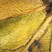 Maple Leaf Detail Art Print